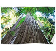 Big Redwoods Poster