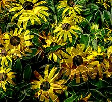 Variegated Black Eyed Susans by Debbie Robbins