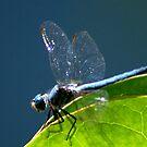 Blue Dragonfly by loiteke