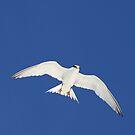 Lesser tern in flight by jozi1