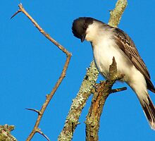 Eastern Kingbird  by Marcia Rubin