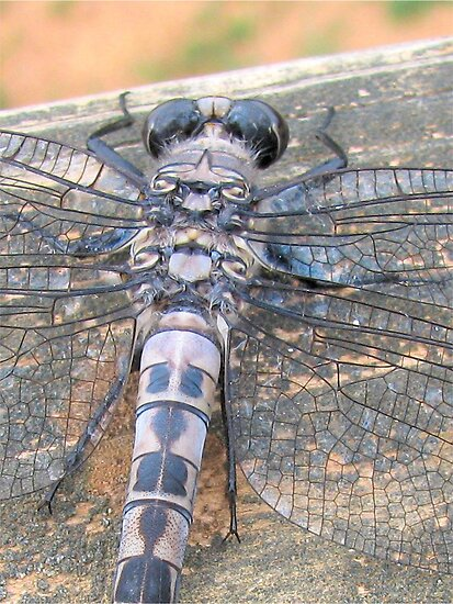 The Faces Of A Dragonfly by Ginny York