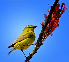 Orange Crowned Warbler by John Absher