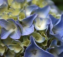 Hydrangea 2 by chrstnes73