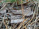 Loblolly Pine Bark - Pinus taeda by MotherNature