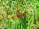 Calico Pennant Dragonfly - Celithemis elisa by MotherNature