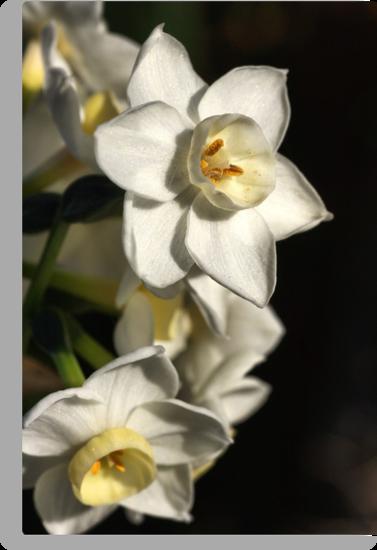 Daffodils Day by Joy Watson