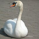 Royal Swan by Debbie Thatcher