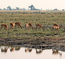 Impala in Chobe by Graeme  Hyde