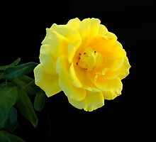 Quite A Rose by RickDavis
