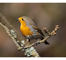 Robin in the woods Photographic Print