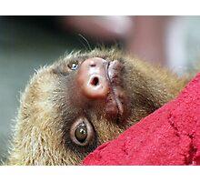 Baby sloth Photographic Print