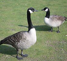 Canadian Geese by Debbie Thatcher