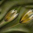 In a Dream - Tulipa Tarda by Marilyn Cornwell