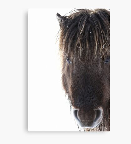 Shetland pony with ice in mane Canvas Print