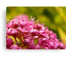 Pink flower clusters Canvas Print
