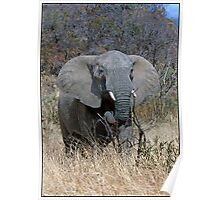 Annoyed Female Elephant Poster