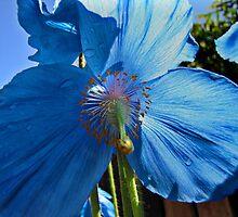 Blue Poppy by Carol Bleasdale
