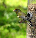Greenfinch by Carol Bleasdale