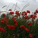 Corn Poppies by Lindamell