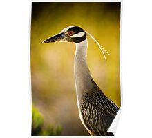 Yellow Crowned Night Heron Poster
