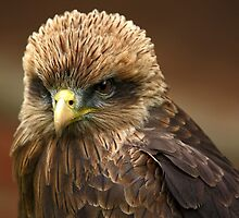 Yellow Billed Kite (Milvus aegyptius) by Mark Hughes