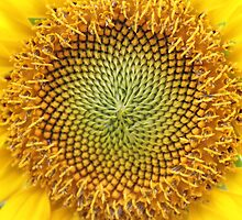 Sunflower Close Up by Bixie