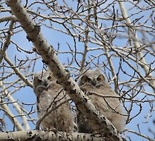 Pair of great horned owl chicks by Paul Gloor
