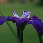 Profile Of An Iris by Geno Rugh