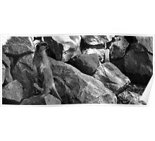 Meerkat Madness - Paignton Zoo Poster