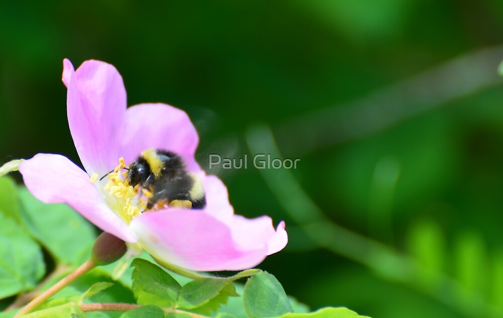 Bumble Bee on a wild rose by Paul Gloor