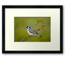 Blue tit, perched on rose branch Framed Print