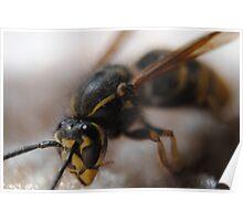 Yellow jacket wasp Poster