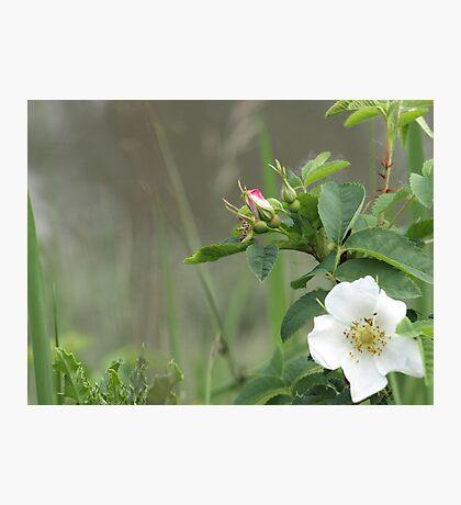 Wild rose, white Photographic Print