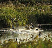 Ducks taking wing by Paul Gloor