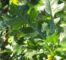 Oak leaf by Paul Gloor