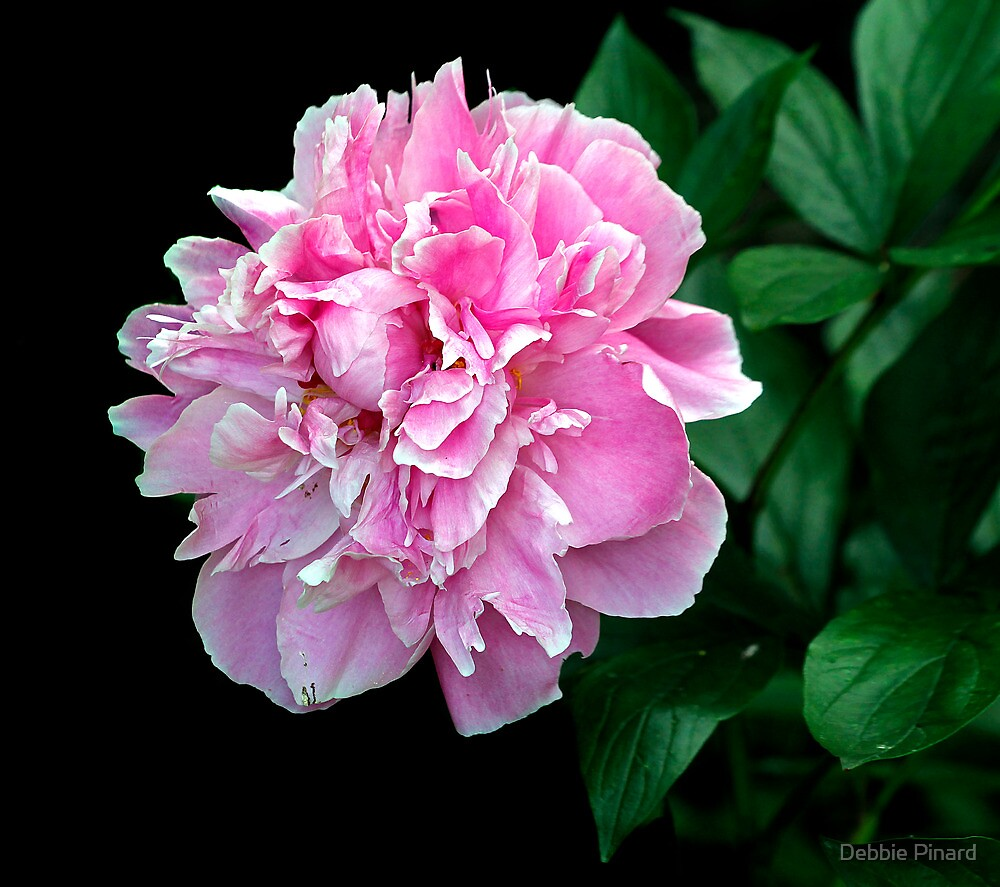 Pink Peony 1 by Debbie Pinard