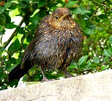 I'll Dry Off With A Little Help From The Sun!! - Juvenile Blackbird - NZ by AndreaEL