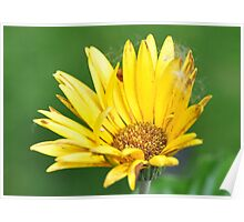 Yellow gerber daisy with cottonwood fluff Poster