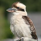 Kookaburra on fence by sueyo