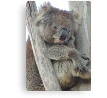 Daydreaming koala at Belair National Park Canvas Print
