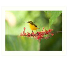 Yellow Bellied Sunbird Art Print