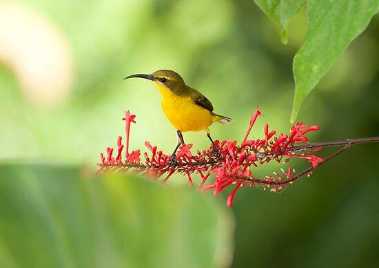 Yellow Bellied Sunbird by Jenny Dean
