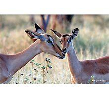JUST A SMALL HUG? - BLACK-FACED IMPALA _Aepyceros melampus petersi Photographic Print