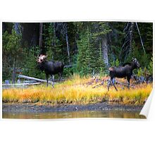 BULL AND COW MOOSE Poster