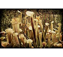 Pitcher Plants Photographic Print