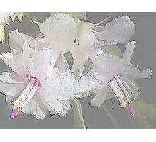White Zygocactus 1 Photographic Print