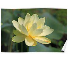 Lake Jackson American (Yellow) Lotus Poster