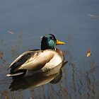 """Duck on Pond"" by dfrahm"