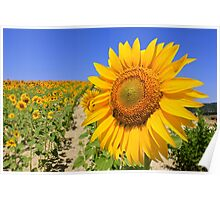 Spanish Sunflower Shining Bright Poster